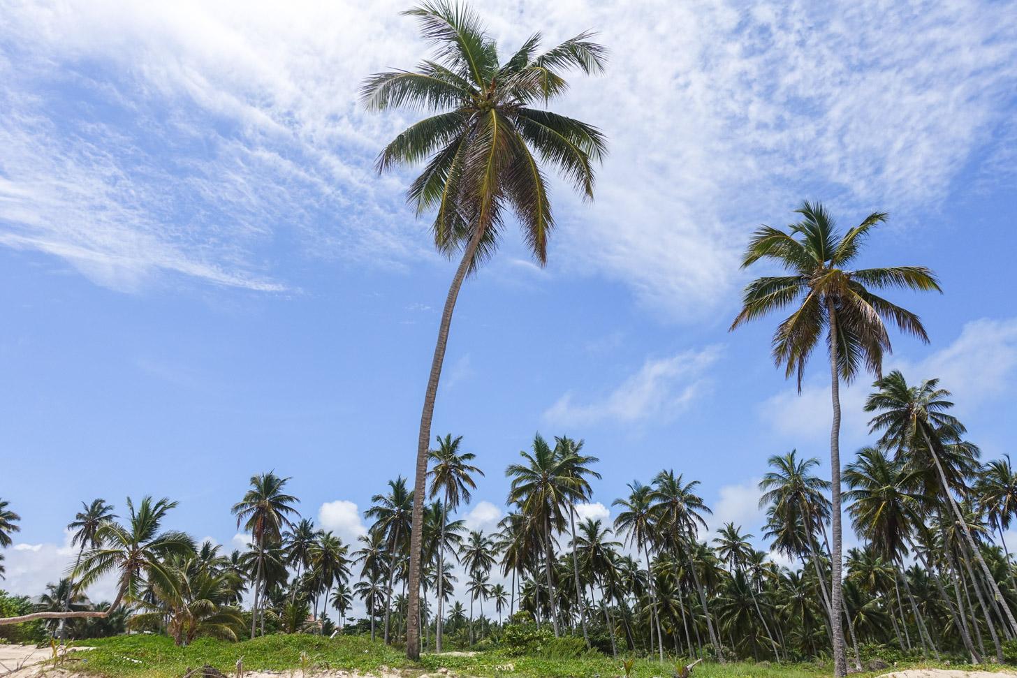 Palmbomen langs het strand van Punta Cana