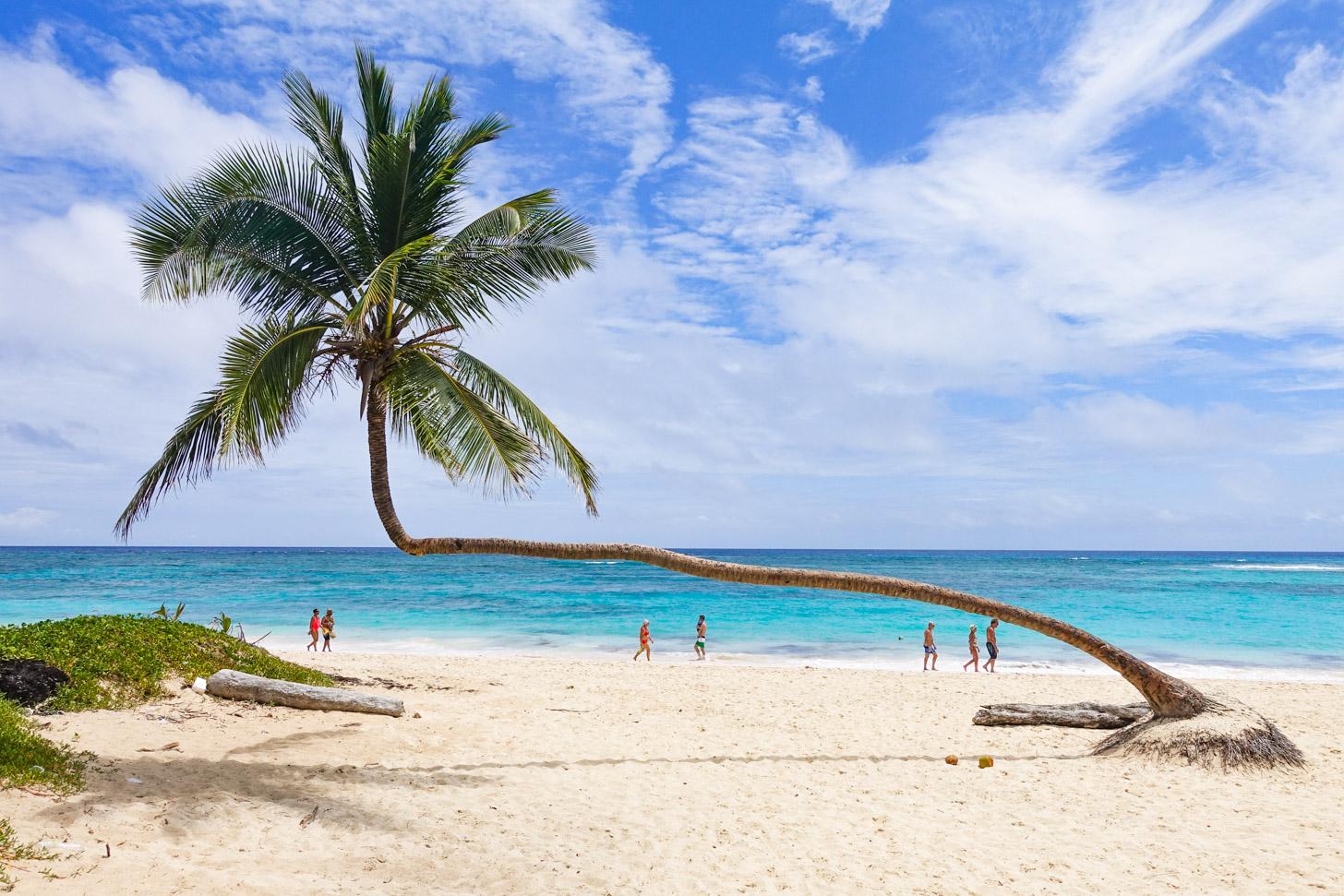Een van de vele palmbomen in Punta Cana